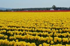 Skagit谷黄色和红色郁金香 库存照片
