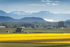Skagit谷黄水仙领域。 免版税库存图片
