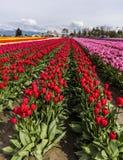 skagit dale tulipanu festiwalu zdjęcia royalty free