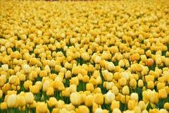 skagit dale tulipanu festiwalu obrazy royalty free