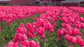 Skagit Dolinni tulipany, stan washington zoom 4K UHD zbiory