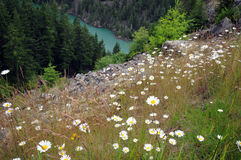 Skagit River daisies. Washington's Skagit River in background for hillside daisies royalty free stock photo