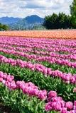 Skagit tulipanu Dolinny pole obrazy royalty free