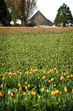 Skagit Valley Daffodil Field Stock Photography
