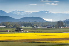 Skagit Valley Daffodil Field. Royalty Free Stock Images