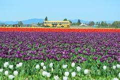 Free Skagit Valley Tulip Festival In Full Bloom Royalty Free Stock Photos - 118266068