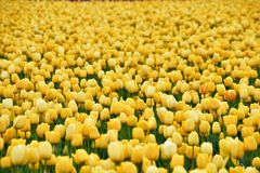 Skagit valley tulip festival. royalty free stock images