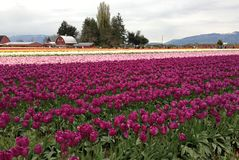 Skagit Valley Tulip Festival, Washington, Seattle Royalty Free Stock Photos