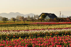 Skagit valley Tulip field and farmhouse Stock Photography