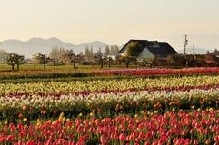 Skagit valley Tulip field and farmhouse Stock Photography