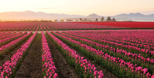 Skagit valley Tulip field at foggy sunrise Stock Image