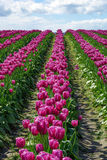 Skagit Valley Tulip Field. Skagit Valley leading lines of tulip blooms in spring Royalty Free Stock Photography