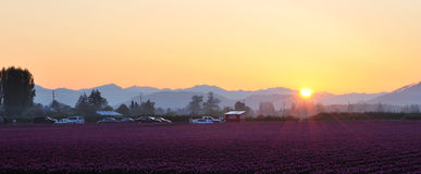 Skagit valley Tulip field at sunrise Royalty Free Stock Photography