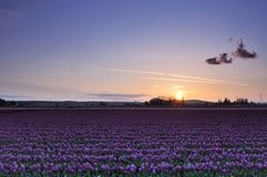 Skagit valley tulip field sunset. Skagit valley tulip field with purple tulips at sunset Royalty Free Stock Images