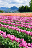 Skagit Valley Tulip Field. Skagit Valley, Washington, beautiful tulip fields in spring Royalty Free Stock Images