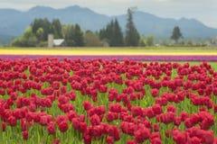 Free Skagit Valley Tulips Royalty Free Stock Photos - 70002258