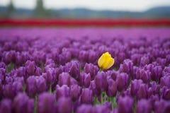 Free Skagit Valley Tulips Stock Image - 70047451