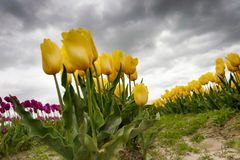 Free Skagit Valley Tulips Royalty Free Stock Images - 70048039