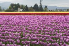Skagit Valley Tulips Stock Photos