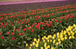 Skagit Valley Tulips. The first sign of spring is the emergence of the colorful tulips in the Skagit Valley of western Washington State Stock Image