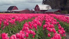 Skagit Valley Tulips, Washington State 4K. UHD stock video