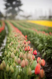 Skagit Valley Tulips Stock Images