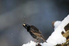 Skaka av snön Arkivfoton