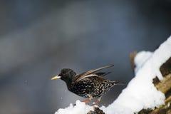 Skaka av snön Fotografering för Bildbyråer