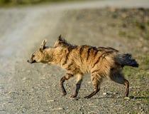 Skaka för Aardwolf Royaltyfria Foton