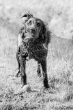 Skaka för hund av vattnet Fotografering för Bildbyråer