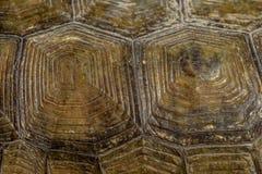 Skal för goffersköldpadda Royaltyfria Bilder