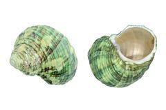 Skal för grönt hav som isoleras på vit Royaltyfri Foto