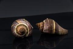 Skal för hav för Fasciolaria tulipa härligt på en svart bakgrund Royaltyfria Bilder