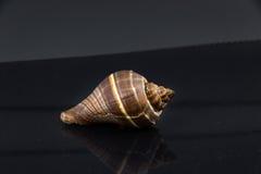 Skal för hav för Fasciolaria tulipa härligt på en svart bakgrund Arkivfoto