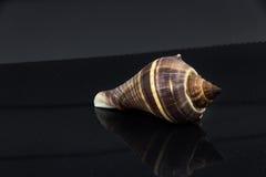 Skal för hav för Fasciolaria tulipa härligt på en svart bakgrund Royaltyfria Foton
