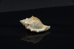 Skal för hav för Latirus polygonus härligt på en svart bakgrund Royaltyfri Fotografi