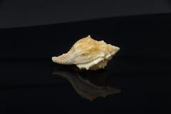 Skal för hav för Latirus polygonus härligt på en svart bakgrund Royaltyfri Foto