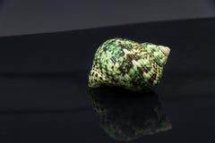 Skal för hav för Polinices lacteus härligt på en svart bakgrund Fotografering för Bildbyråer