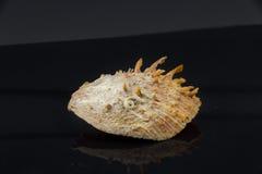 Skal för hav för Spondylus itericus härligt på en svart bakgrund Royaltyfri Bild