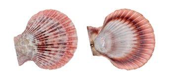 Skal för rosa och vitt hav som isoleras på vit Arkivbilder