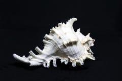 Skal för vitt hav royaltyfri bild