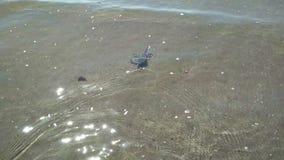 Skal med den lilla krabban på den sandiga stranden som bort kör i vattenvågor av havet stock video
