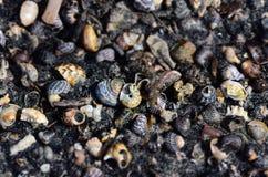Skal och sniglar i den svarta sanden Arkivfoto