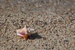 Skal på mycket små skal med vågen och den stora trumpetsnäckan Shell Arkivbild