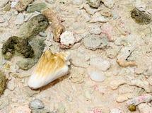 skal på stranden med vågen. trumpetsnäcka och kiselstenar på sanden Royaltyfri Bild
