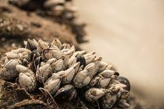 Skal som växer på en vagga på stranden Royaltyfri Foto