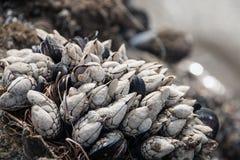 Skal som växer på en vagga på stranden Fotografering för Bildbyråer