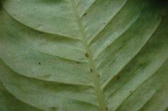 Skalakryp på ett blad Arkivfoto