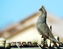 skalapp quail Arkivbild