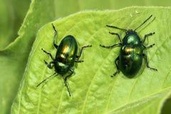 skalbaggar Royaltyfri Bild